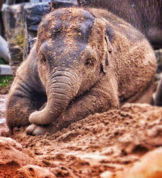 Chester Zoo Elephant Baby Elephant Photography