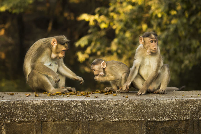 Monkey family having peanuts in the National Park Borivali Animal Animal Family Animal Wildlife Animals In The Wild Ape Baboon Baby Care Eating Time Full Monkey Famil Mammal Monkey Monkey Family Monkey Forest Nature Outdoors Primate Togetherness Young Animal
