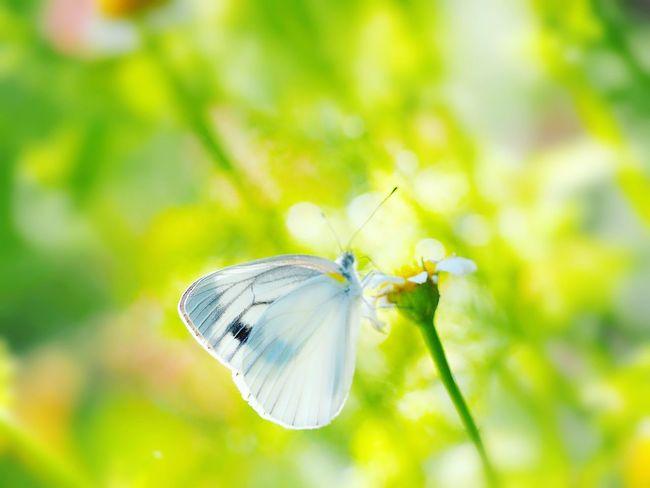 君に幸せあれ… 紋白蝶 蝶々 Butterfly Collection Butterfly - Insect Insect Collection EyeEm Nature Lover EyeEm Gallery Eyemphotography EyeEm Best Shots 日だまり Green Nature EyeEm Best Shots - Nature Beauty In Nature My Point Of View
