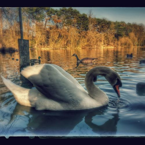 Afternoon swim Animal Themes Water Animals In The Wild Bird Outdoors Swan Beauty In Nature Sunshine Tranquil Scene Photography Nature On Your Doorstep Rspb_love_nature RSPB Nature Photography Naturelover