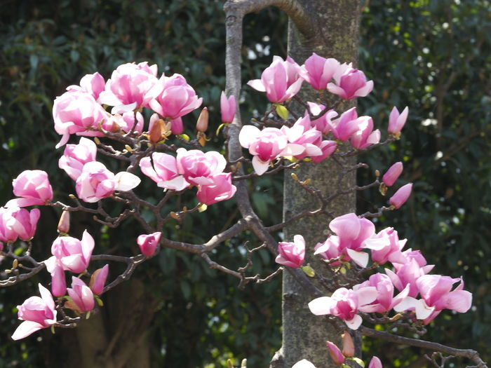 Tokyo Magnolia Flowering Plant Flower Plant Pink Color Fragility Freshness Vulnerability  Growth Beauty In Nature Petal Close-up Day