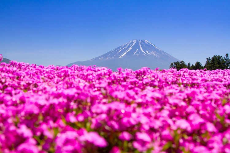 Mt. Fuji with pink carpet of shibazakura or phlox mosses in spring Mt. Fuji, Japan Beauty In Nature Blue Clear Sky Day Flower Fragility Freshness Mountain Nature No People Outdoors Phlox Mosses Scenics Shibazakura Sky Tranquil Scene Tranquility Tree