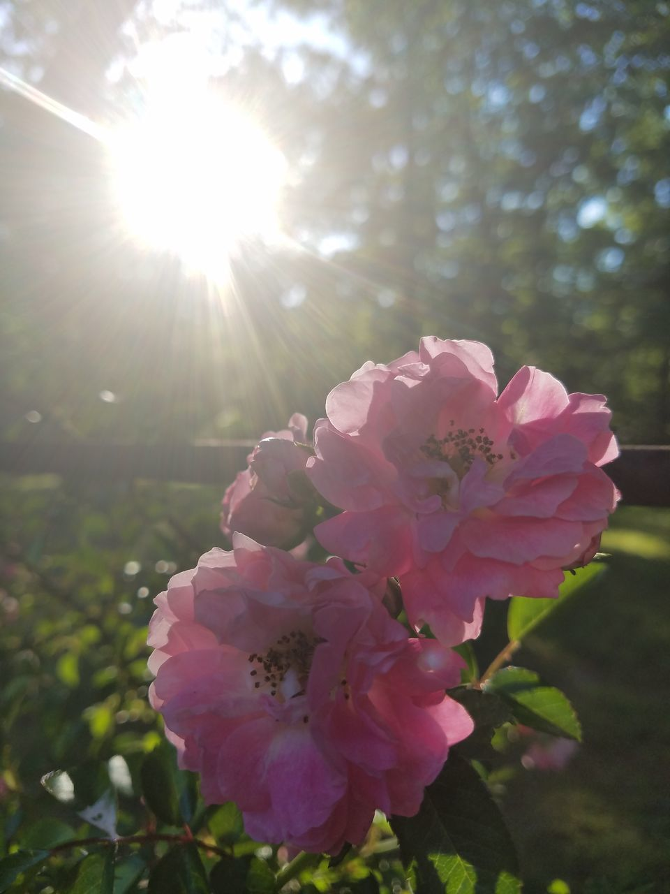 flower, nature, beauty in nature, pink color, petal, fragility, growth, lens flare, sunlight, sun, no people, day, outdoors, plant, close-up, flower head, freshness, tree, blooming