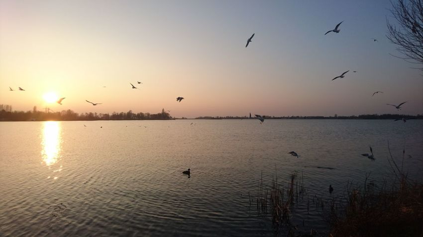Sunset on Lake Langeraar Langeraar Nieuwkoop Zuid Holland Bird Sunset Flying Flock Of Birds Large Group Of Animals Reflection Animal Wildlife Sky Nature Water Lake Outdoors Scenics Tranquility Sun