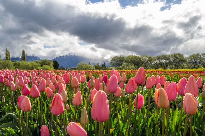 In Argentina, tulips are grown near a little town called Trevelin, in Chubut Province. The bulbs are planted in May (Autumn), then the plants bloom between October and November (spring), and people can visit this plantations. After flowering, flowers are cut to concentrate the storage of nutrients in the bulbs. Then, the bulbs are harvested and exported to other countries. Trevelin Beauty In Nature Close-up Cloud - Sky Day Field Flower Flower Head Fragility Freshness Grass Growth Landscape Multi Colored Nature No People Outdoors Pink Color Plant Rural Scene Scenics Sky Tranquil Scene Tranquility Tulip EyeEmNewHere The Great Outdoors - 2018 EyeEm Awards