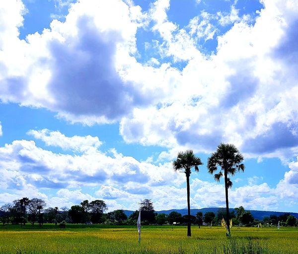 palmyra tree in rice field Rice Paddy Palm Tree Tree Agriculture Palm Tree Sky Cloud - Sky Agricultural Field Cumulus Cloud Field Farmland Farm