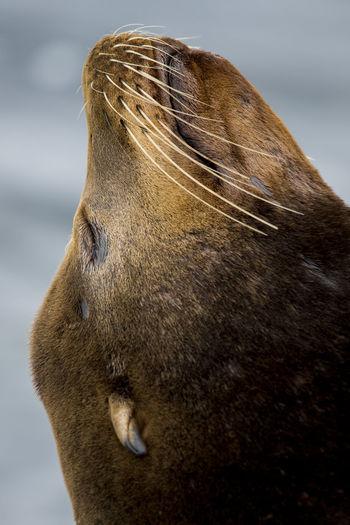 Californian Wildli Head Shot  Relaxing Sea Lion Californian Sea Lion Close Up Marine Life Portrait Seals Sun Bathing