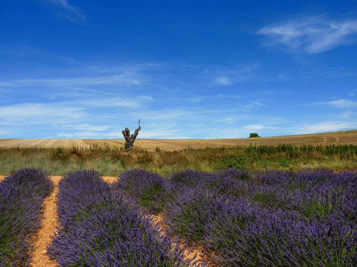 Agriculture Beauty In Nature Blue Cloud - Sky Clouds And Sky Day Field Flower Growth Landscape Nature Outdoors Plant Purple Purple Flower Scenics Sky Sky And Clouds Sky And Trees Tranquil Scene