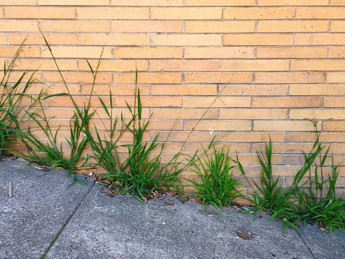 Grass In The Cracks Weeds Weeds Are Beautiful Too Weeds In The Sidewalk Brick Wall Open Edit