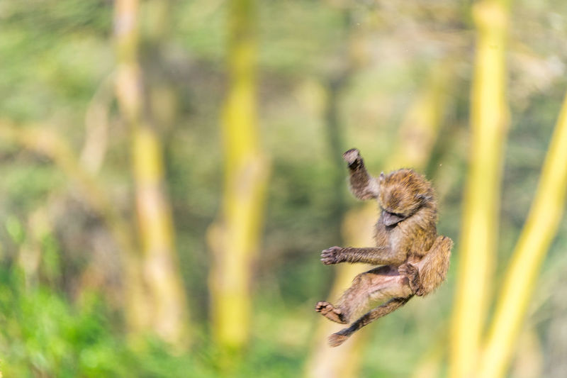 Scenic view of jumping baboon