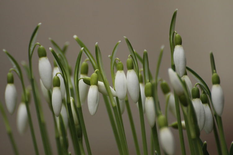 springtime ahead Early Bloomer Garden Springtime Blossoms Plant Growth Beauty In Nature Vulnerability  Green Color Close-up Fragility Flower Freshness Flowering Plant No People Nature Selective Focus Snowdrop Day Focus On Foreground White Color Petal Bud Outdoors Flower Head