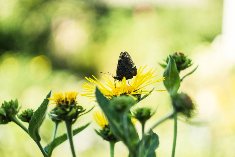 Belarus Minsk Animal Themes Animals In The Wild Beauty In Nature Butterfly Flower Flower Head Flowering Plant Fragility Freshness Growth No People Petal Plant Pollination Vulnerability  Yellow