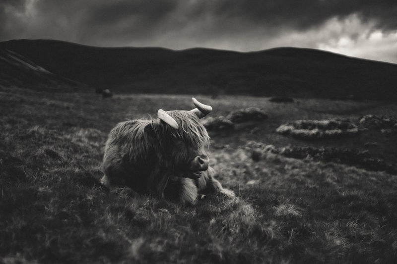 Black and white animal portrait of highland cattle