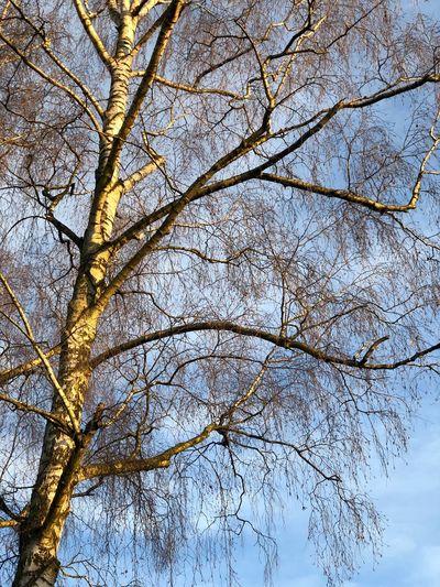Birken Baum Himmel Wolken äste Baum Lebensbaum Birken Birke Tree Branch Bare Tree Nature Low Angle View Beauty In Nature Outdoors Day Close-up Clear Sky No People Freshness Sky