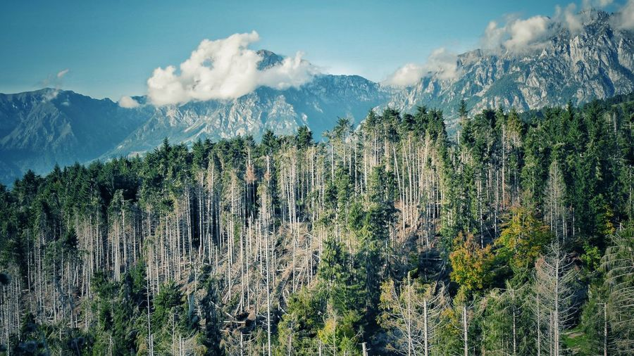 Panoramic view of pine trees against sky