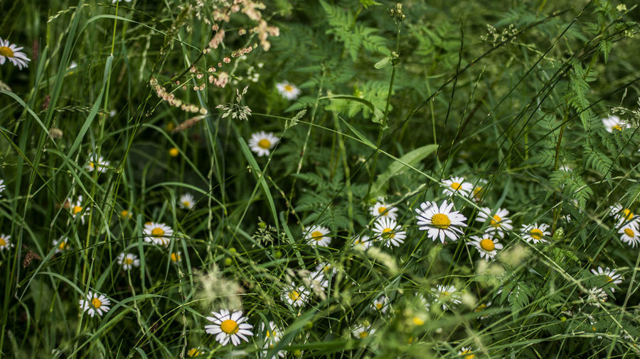 Beauty In Nature Close-up Daisy Day Field Flower Flower Head Flowering Plant Fragility Freshness Green Color Growth Land Nature No People Outdoors Petal Plant Selective Focus Vulnerability  Yellow