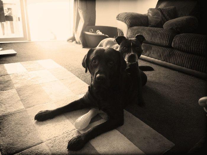 Staffy And Labrador
