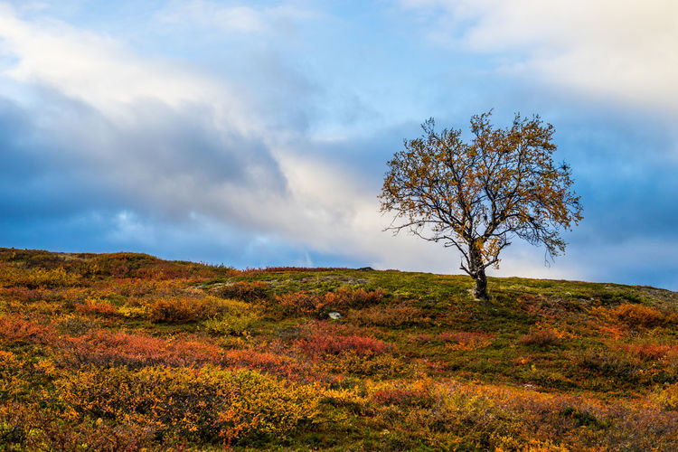 September hiking along The King's Trail in northern Sweden Autumn Beauty In Nature Birch Blue Brown Clouds Day Gällivare Hiking Kaitumjaute Kung Landscape Nature No People Northern Europe Orange Outdoors Remote Scandinavia Single Tree Sweden The Kings Trail Tranquility Tree Yellow