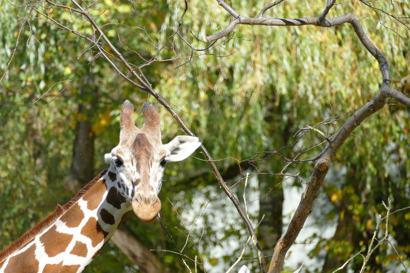 Animals In The Wild Eating Giraffe Giraffe Head Tree Trees Zoo Animal Background Backgrounds Cute Animals Day Drinking Garden Gardens Nature No People Outdoors Park Refliction Tree Water Wild And Natural Wildlife Zoology