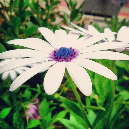 Preciosa Flower Westagram Lovely Testagram perfecta Picoftheday Photooftheday SonySP Statigram iphonesia Instagram Instalove primavera