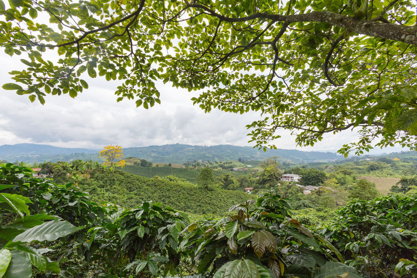Coffee plants grow under the shade of a tree on a coffee plantation near Chinchina, Colombia. Andes Caffeine Coffee Colombia Farm Latin Manizales Nature Plant South Travel America Arabica Bean Caldas Chinchina Colombian  Drink Landscape Mountain Organic Plantation Robusta Triangle Tropical