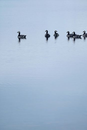 Water Group Of Animals Animal Themes Bird Animal Animals In The Wild Animal Wildlife Vertebrate Lake Nature Waterfront Poultry Duck Day Swimming No People Beauty In Nature High Angle View Large Group Of Animals Outdoors