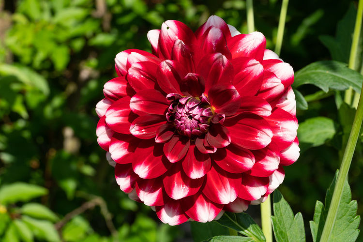 Dahlia (Dahlia), flowers of summer Flowering Plant Flower Fragility Petal Vulnerability  Flower Head Inflorescence Plant Beauty In Nature Freshness Close-up Growth No People Focus On Foreground Garden Flora Blooming Bloom Blooming Flower Blossom Nature Outdoors Blooming Garden Summer Summertime Natural Botanic Close Up Beauty In Nature Floristry Season  Flowering Plant Dahlia Day Red Pink Color