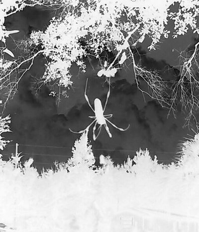 Spiderman Negative Effect Female Banana Spider My Backyard First Eyeem Photo Arachnophobia Outdoor Photography The Week On Eyem Insect Photography The Magic Mission Monochrome Photography Monochrome Happy Halloween My Year My View Welcome To Black The Secret Spaces Cut And Paste