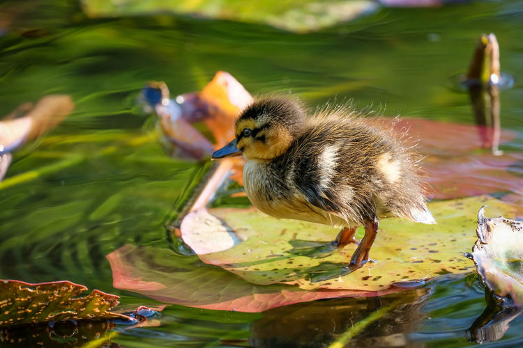 Close-up of baby duck swimming in lake