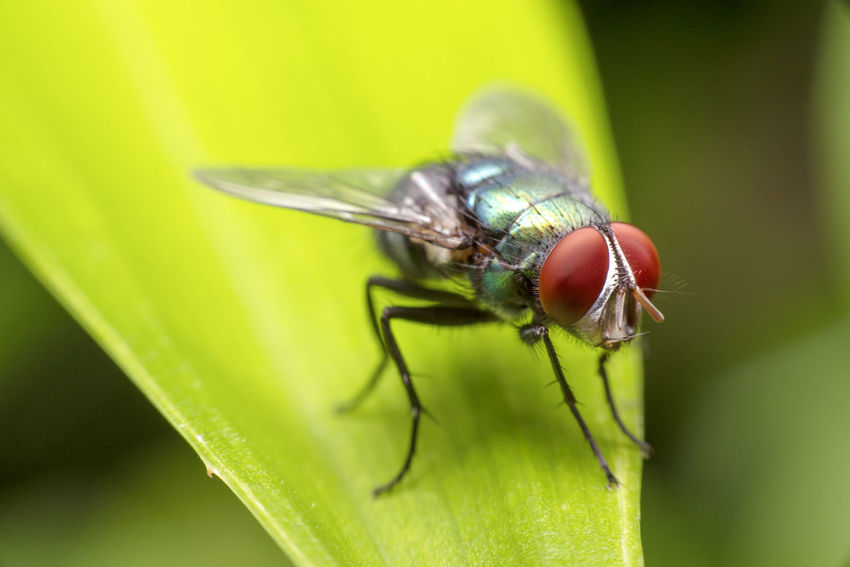 Fly on green leaf Animal Animal Eye Animal Themes Animal Wildlife Animal Wing Animals In The Wild Close-up Day Fly Focus On Foreground Green Color Housefly Insect Invertebrate Leaf Nature No People One Animal Outdoors Plant Plant Part Selective Focus