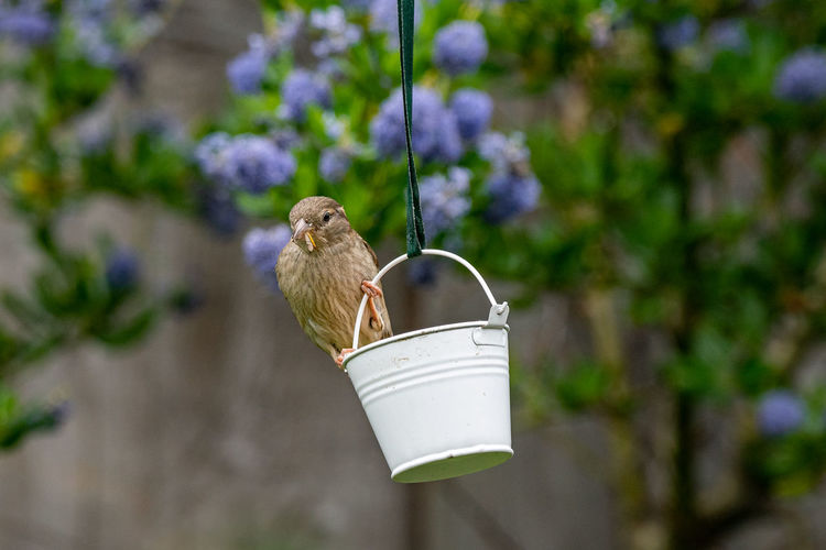 City wildlife with a house sparrow, passer domesticus, perched on a garden bird feeder with insect
