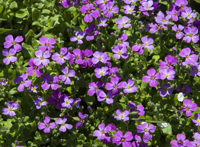 High angle view of purple flowers blooming outdoors