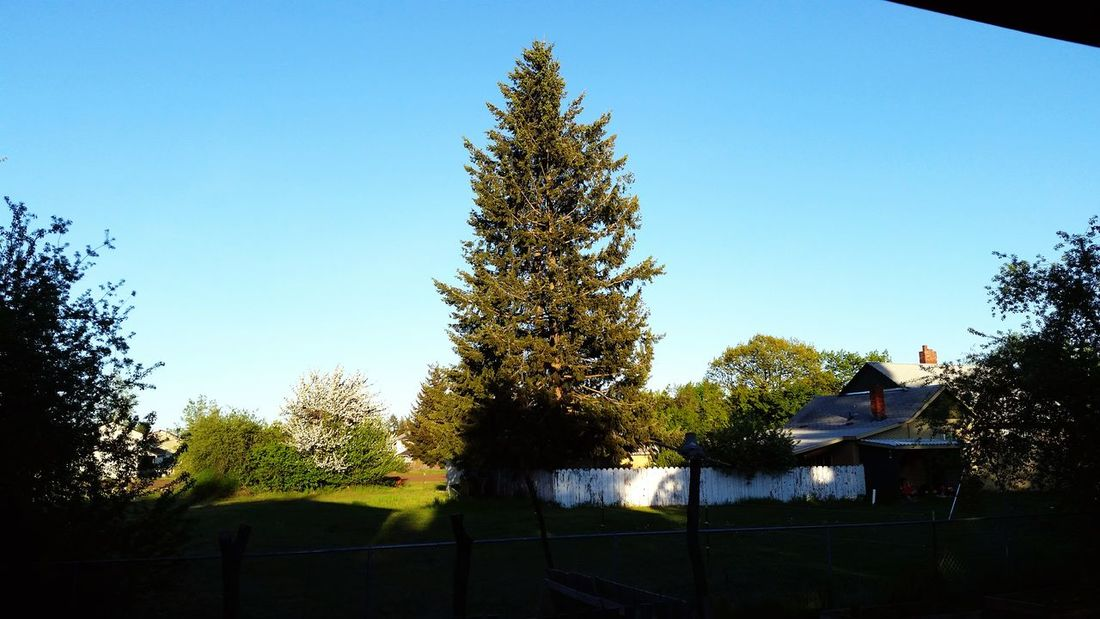 Backyardphotography Taking Photos sitting in back yard and liked the shot of that huge Pinetree Landscape_Collection EyeEm Nature Lover Nature Photography Pacific Northwest  as alwese, hope u enjoy, by Adam O in