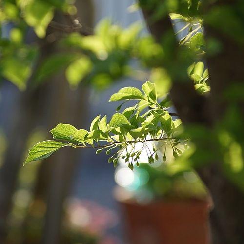 エゴノキ 木 葉っぱ 葉 緑 光