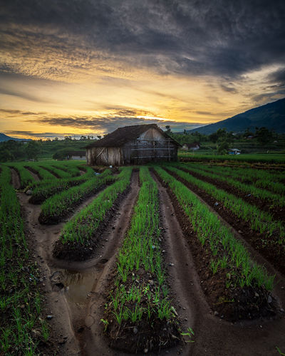 Told about morning at farm. It was so beautiful place, near from Mojokerto city. Onion farmers made an unique pattern on their farm, its use to set irrigation so their plants get enough water. Agriculture Beauty In Nature Farm Field Freshness Landscape Outdoors Plant Rural Scene