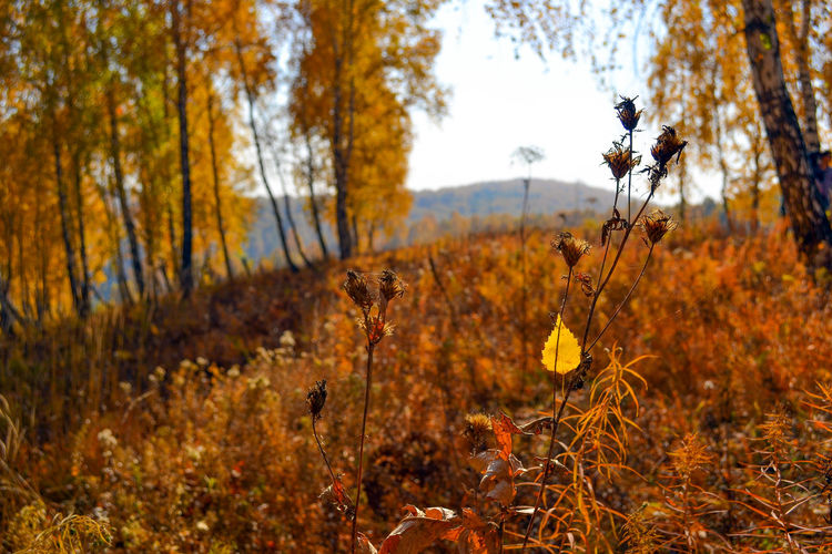 Kemerovo region, Siberia, Russia Kemerovo Region Russia Autumn Beauty In Nature Change Close-up Day Focus On Foreground Growth Landscape Leaf Nature No People Outdoors Scenics Siberia Sky Tranquil Scene Tranquility Tree