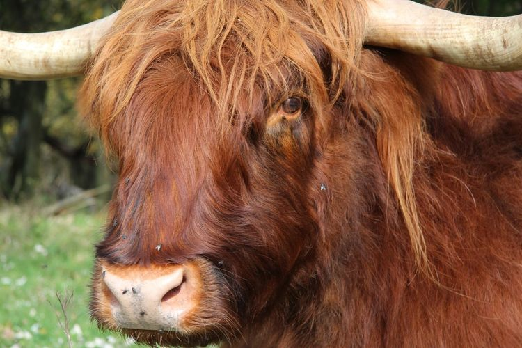 Animals Scottish Highlander Kennemerduinen Haarlem Holland Capture The Moment Autumn Dunes
