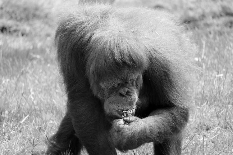 Orangutan on grass at zoo
