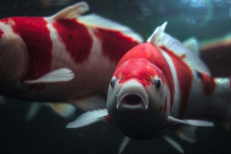 Fish looking into camera Fish Water Animal Themes Swimming Underwater One Animal Close-up Aquarium Mouth Open Sea Life Animals In The Wild