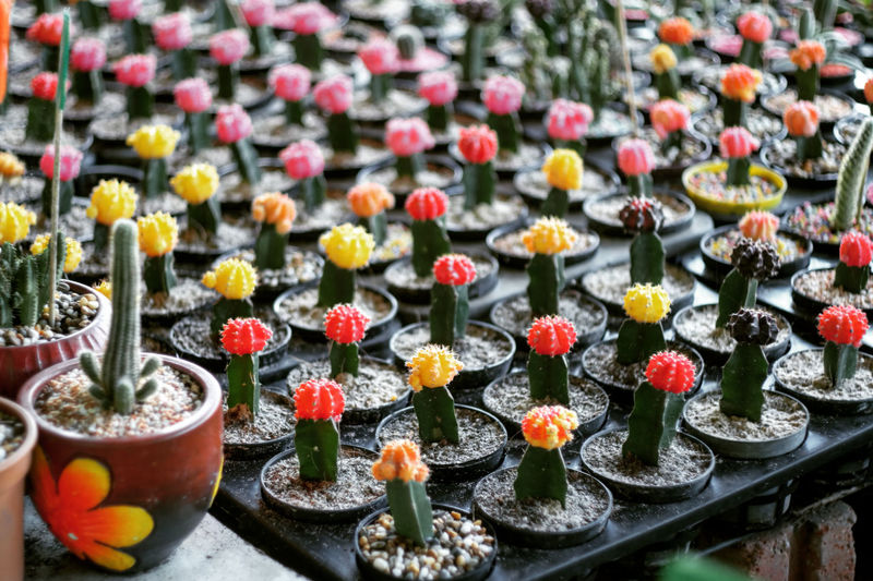 High Angle View Of Cactus Plants Arranged On Table