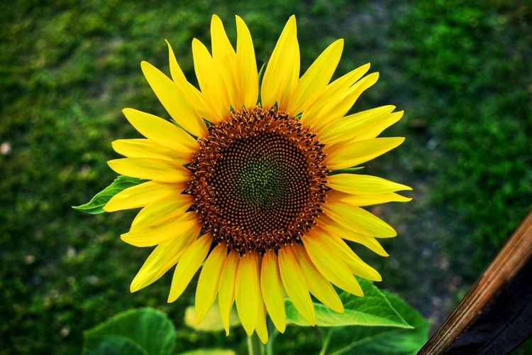 Sunflower Wonders Of God Wonders Of Nature Beautiful Nature Garden Flowers Garden Photography Plant Life Close Up Plant Life Sunflower🌻 Sunflowers🌻 Sunflowers Pollination Outdoors Day No People Focus On Foreground Close-up Nature Pollen Sunflower Inflorescence Vulnerability  Fragility Petal Freshness Beauty In Nature Flower Head Growth Plant Flowering Plant Flower Yellow