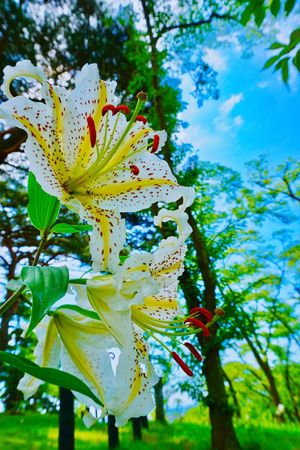 Flower Close-up Beauty In Nature Freshness Flower Head Flower Photography Flowerlovers Flower Collection EyeEm Flower Relaxing Warking♡ EyeEmJapan Japan Photography Miyagi 松島 公園内を散歩 百合がたくさん咲いていた いい香り