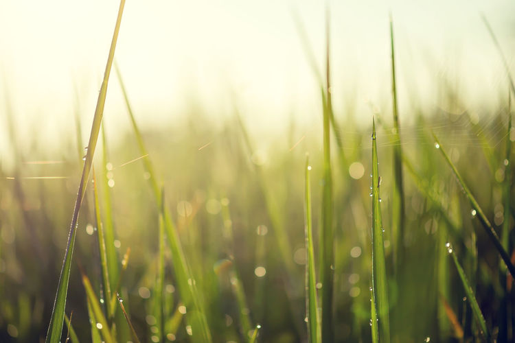 Blurred bokeh background, green leaves of rice in the morning with water drop and sunlight Morning Sunlight Beauty In Nature Close-up Day Drop Environment Focus On Foreground Fragility Freshness Grass Green Color Growth Meadow Nature No People Outdoors Plant Springtime Sunrise Tranquility Water Wet