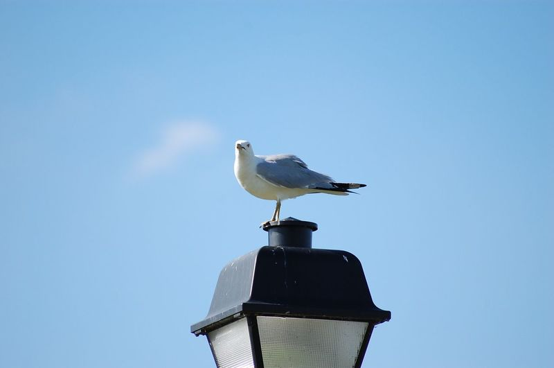 Low angle view of seagull perching on gas light against sky
