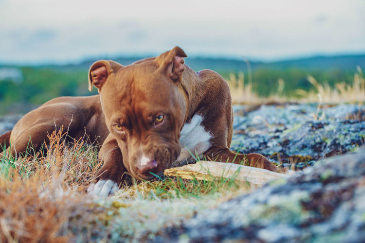 Red nose.. EyeEm Selects Pets Dog Portrait Grass Sky Pit Bull Terrier