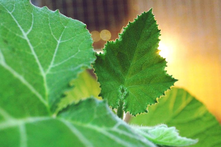 Leaf Fantasy Green Leaves Pumpkin Leaves