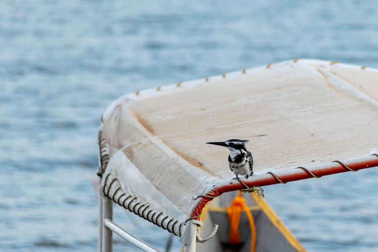 Pied kingfishers, ceryle rudis, perched on a mooring boat roof, lake victoria, uganda