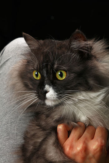Close-Up Of Hand Holding Cat Against Black Background