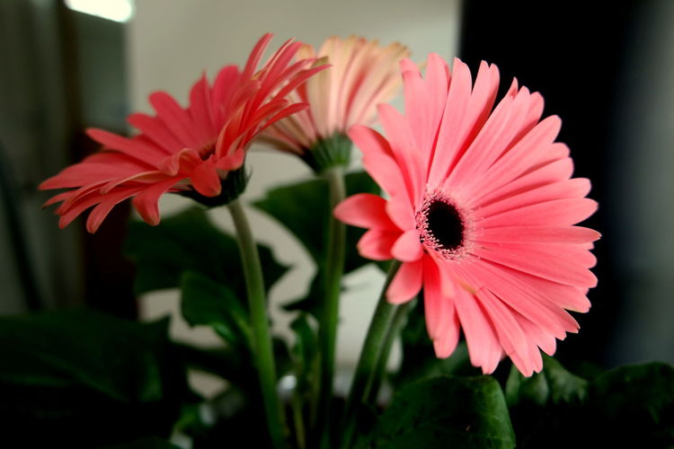 Close-up of gerbera flowers at home