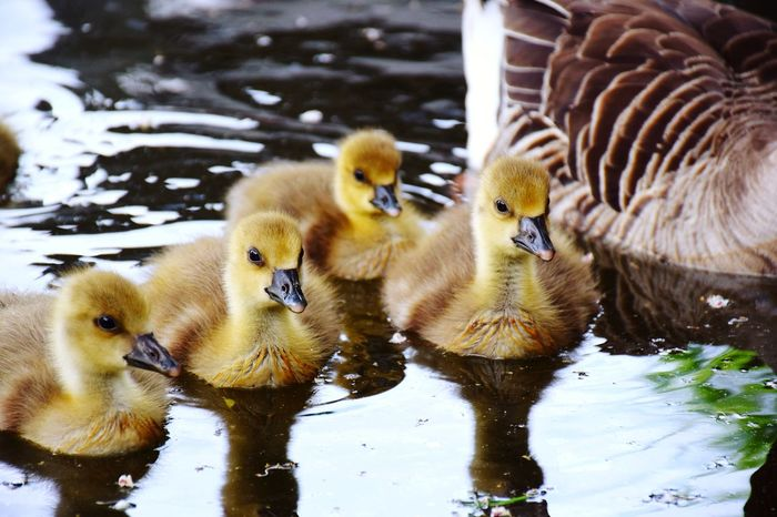 Nature Reflections In The Water Have A Nice Day♥ Beauty In Nature Sunlight Sunshine ☀ Animal Wildlife Animals In The Wild Animal Themes Beak Day Outdoors Focus On Foreground Goslings♥️ New Life& New Hope♥️ River Bille ✌ Bird Water Swimming Young Animal Yellow Gosling Young Bird Goose Togetherness Water Bird Animal Family